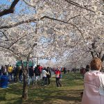 800px-Cherry_Blossom_Festival_Washington_DC