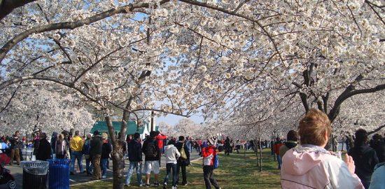 800px-Cherry_Blossom_Festival_Washington_DC