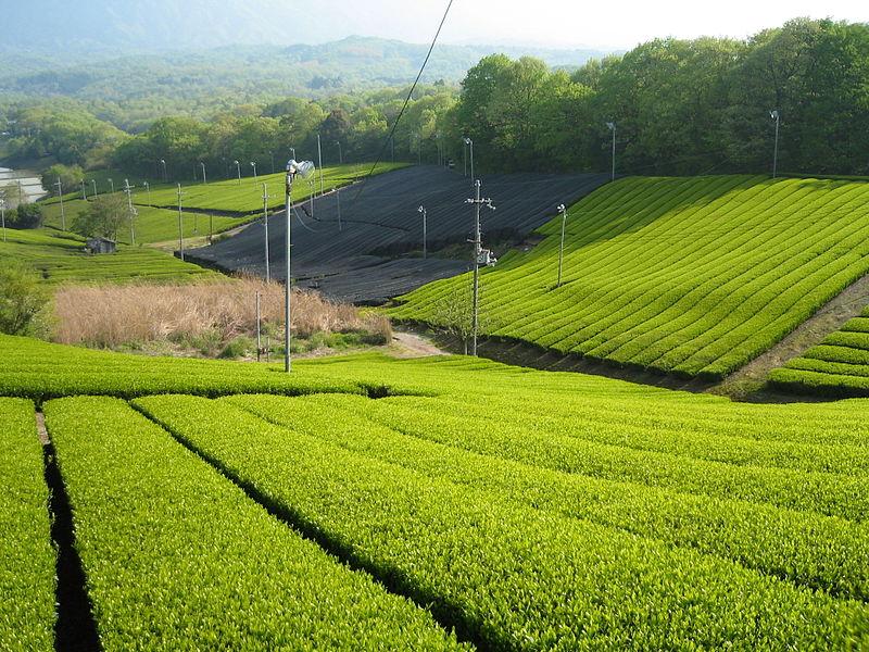 800px-Tea_Minami-yamashiro,_Kyoto_01