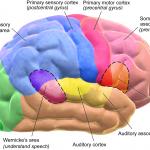 Blausen_0102_Brain_Motor&Sensory_(flipped) (1)