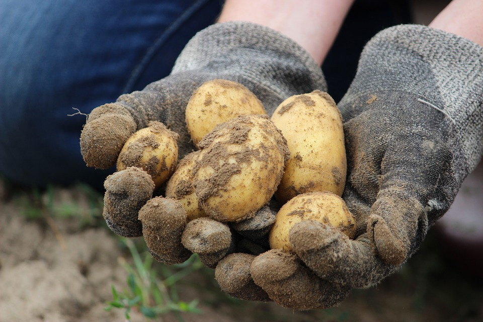 Earth Potato Schulz Field Bauer Eat Bio Nature