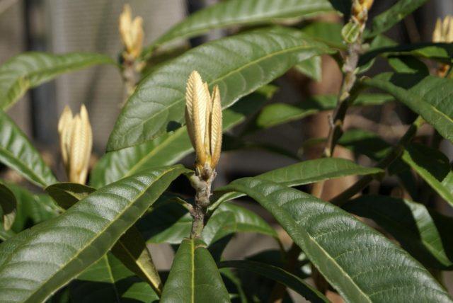 Eriobotrya_japonica_buds