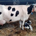 Holstein_cow_with_one-day_calf_01