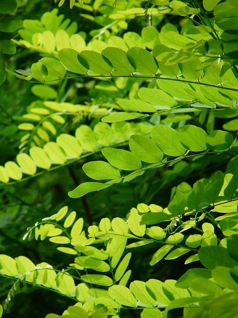 Leaves Green Common Maple Robinia Pseudoacacia