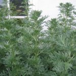 Wormwood_shoots