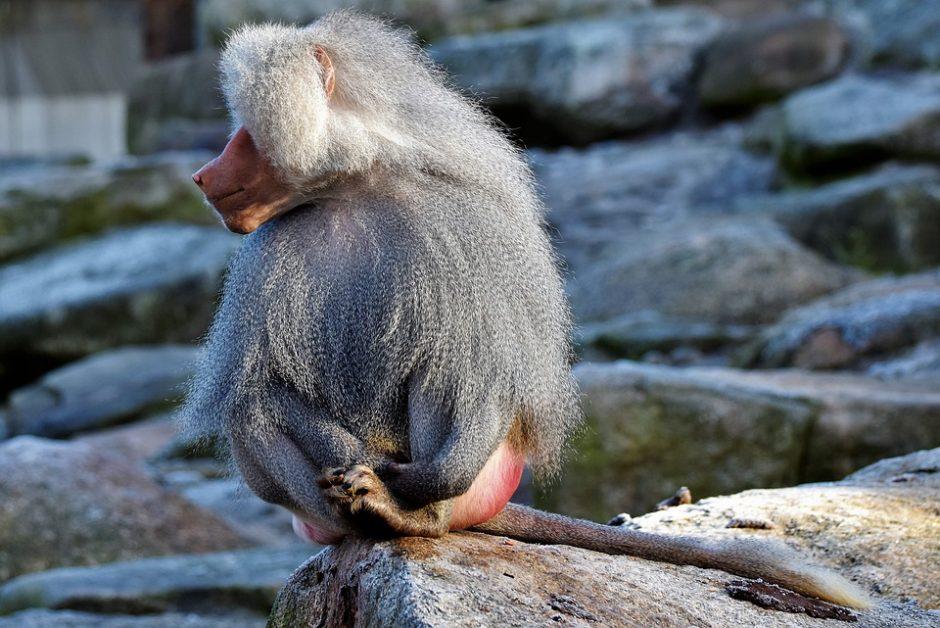 baboon-3096161_960_720