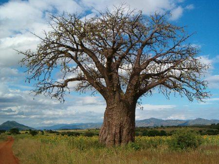 baobab-1222166_640