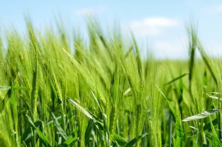 barley-872000_960_720[1]