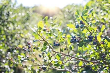 blueberries-1576403__480