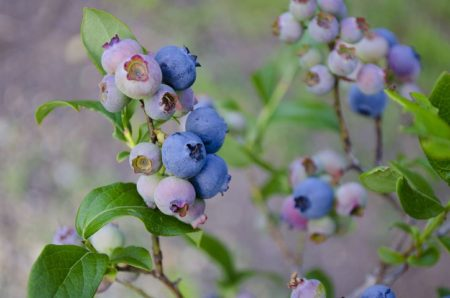 blueberries-1674385__480
