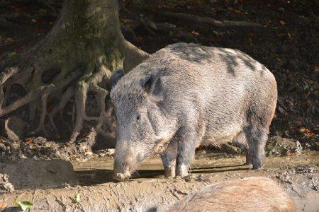 boar-2790879__480