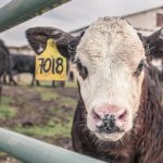 calf-362170_640