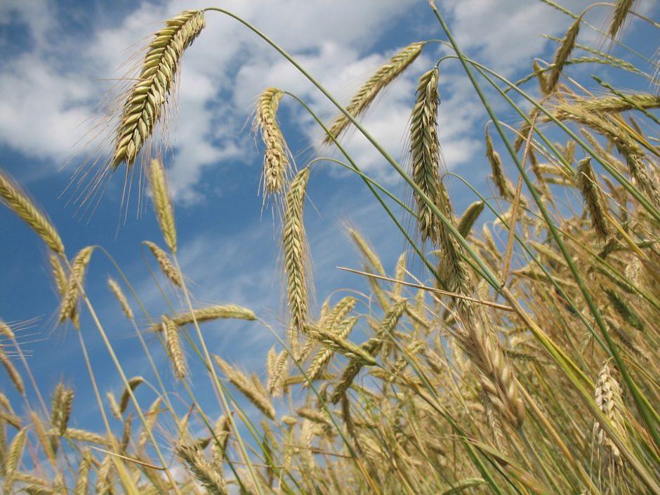 cereals-228726_960_720