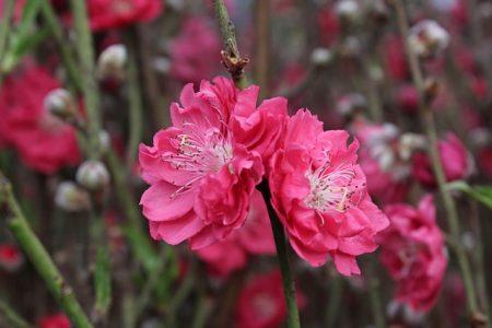 cherry-blossom-2547664_640