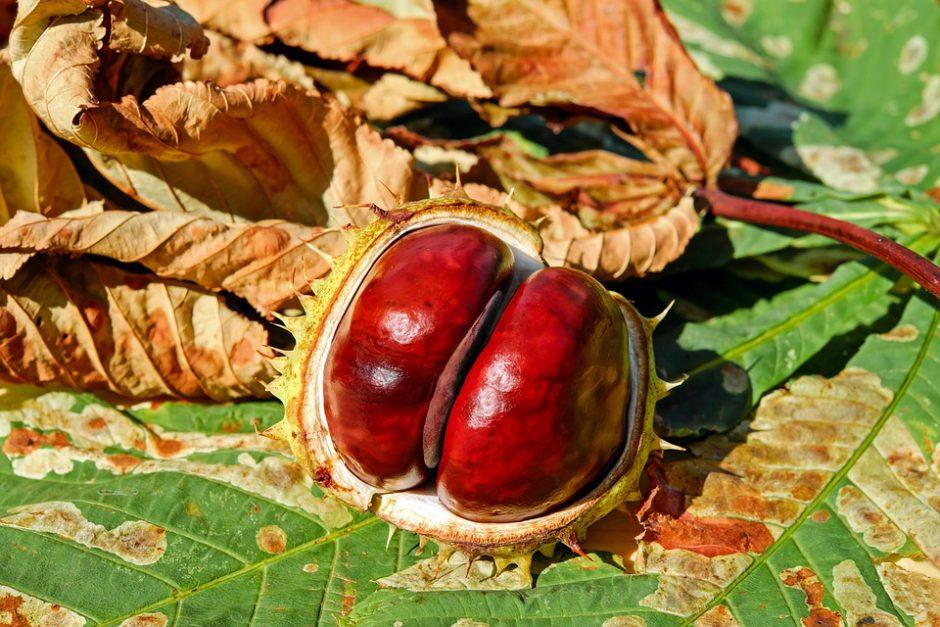 chestnut-2740751_960_720