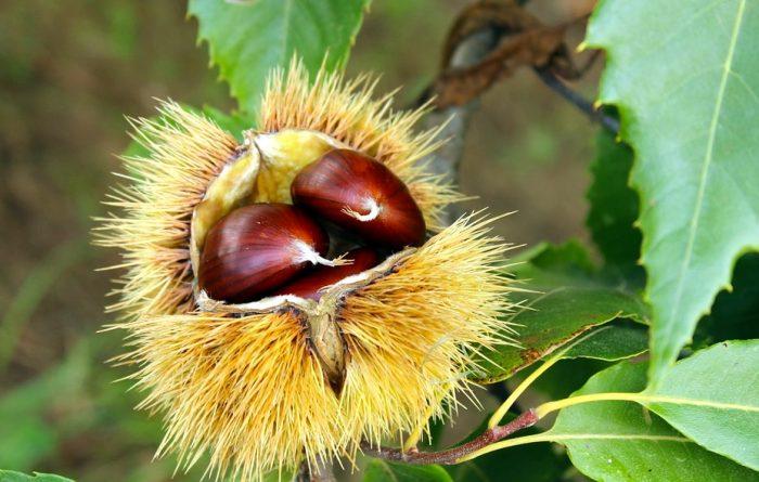 chestnut-2810591_960_720