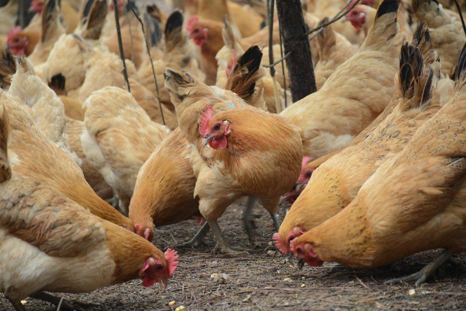 chicken-2258506_960_720