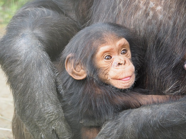 chimpanzee-830535_640