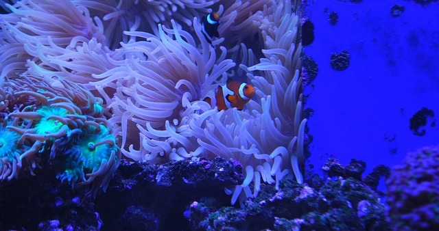 clown-fish-1217127_640