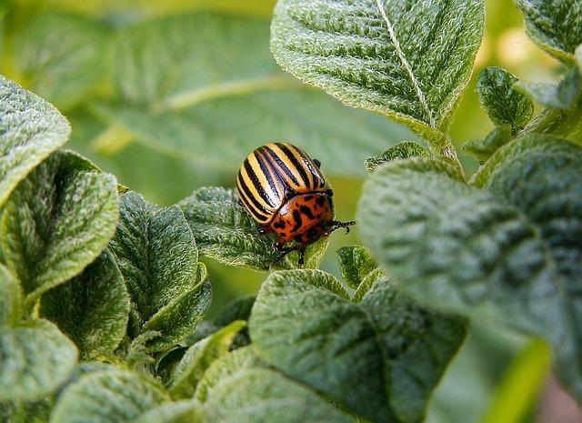 colorado-potato-beetle-582966_640