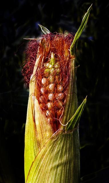 corn-2666036_640