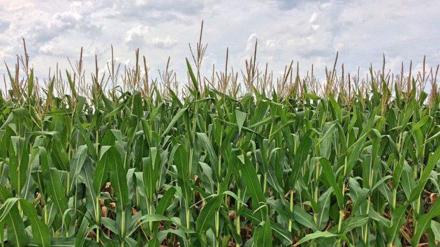 corn-892595_960_720