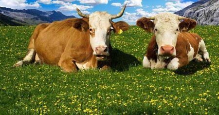 cow-1415553_640