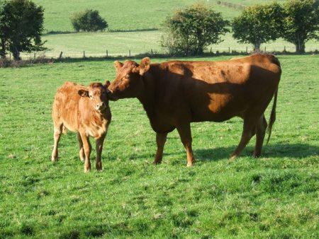 cow-2383_640