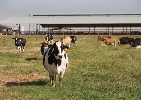 cows-1086048_640