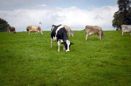 cows-2383256_640