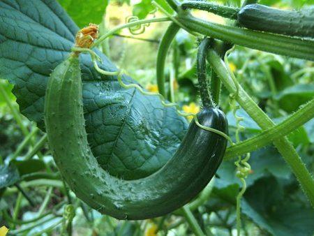 cucumber-1681504__340