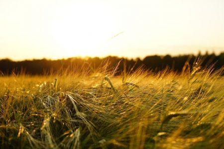 大麦日差し