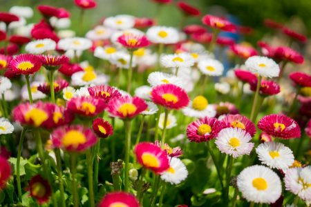daisies-384584_1280