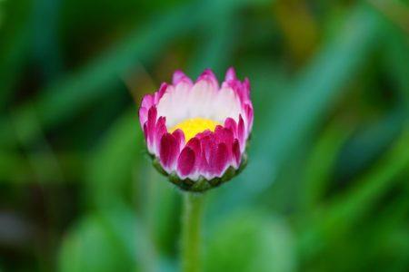 daisy-1317232__480