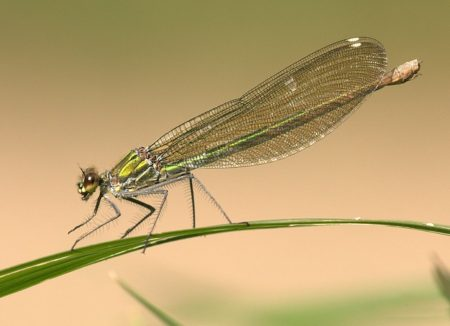dragonfly-357135_640