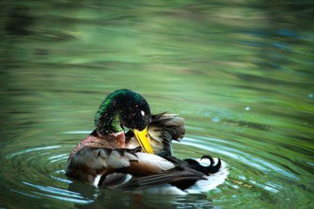 duck-173124_960_720
