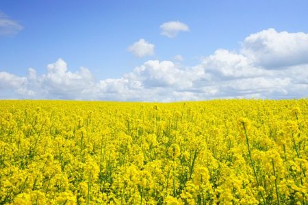 field-of-rapeseeds-474558__480