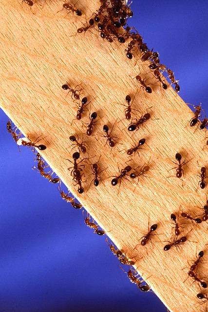 fire-ants-1788584_640