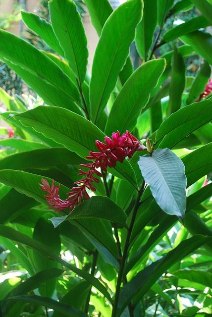 ginger-plant-751130_640