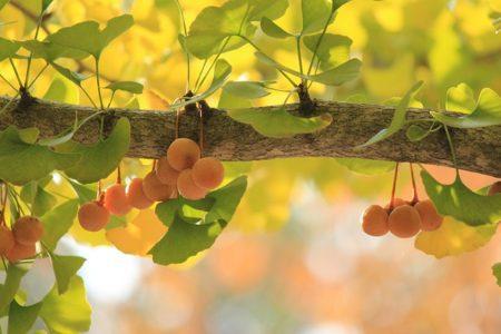 gingko-tree-610016_640
