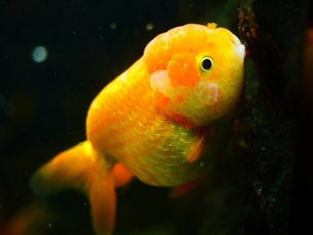 goldfish-1071842_640