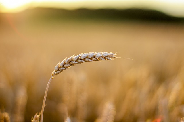 grain-1929944_640