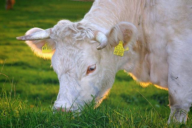 raise organic cows