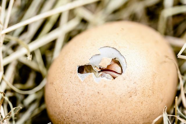 hatching-chicks-2448541_640