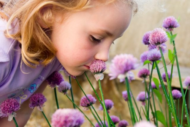 White caucasian female child smelling purple blooms of a flowering chilve herb.
