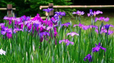 iris-1669973_640