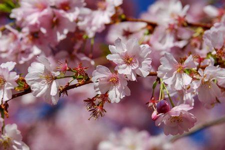 japanese-cherry-trees-3296399_640
