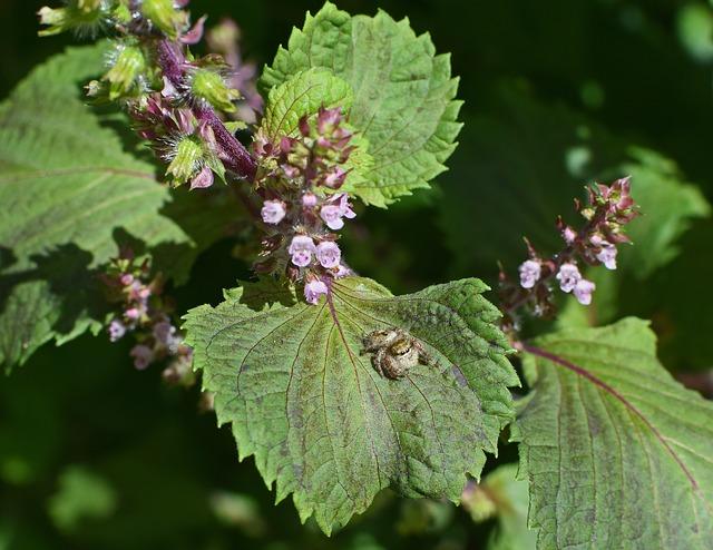 jumping-spider-on-beefsteak-plant-2733562_640
