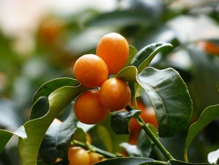 kumquats-357894_640