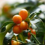 kumquats-357894_960_720